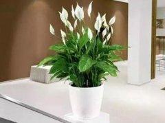 装修异味 新房子装修后放什么植物好