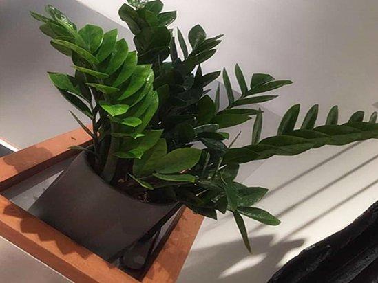 【客厅风水】客厅最旺宅的大型植物金钱树